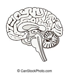 human, seção, cérebro, vetorial, esquemático, estrutura