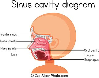 Human Sinus Cavity Diagram illustration