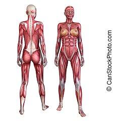 human, sistema muscular