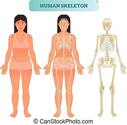 Human skeletal system, anatomical model. Medical vector...