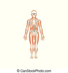 Human skeletal system, anatomy of human body vector Illustration on a white background