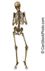 Human Skeleton - 3D digital render of a human skeleton...