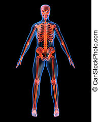 human skeleton - 3d rendered illustration of a glowing...