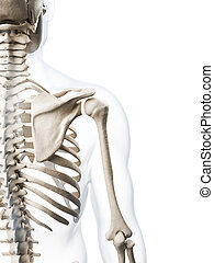 Human skeleton - 3d rendered illustration of the human...