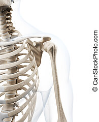 Human skeleton - 3d rendered illustration of the human ...