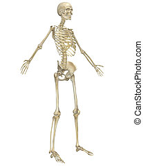 Human Skeleton Anatomy Angled Front View - A angled front...