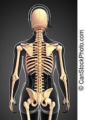 Human skeleton back view - Illustration of human skeleton...
