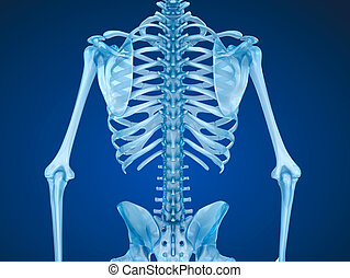 Human skeleton: breast chest. Front view. Medically accurate...