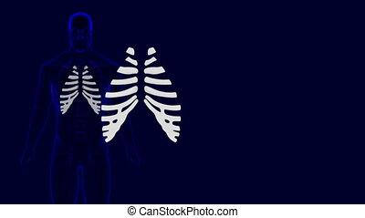 Human Skeleton Costal Cartilage Anatomy 3D Illustration For Medical Concept