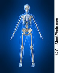 human skeleton - 3d rendered x-ray illustration of a human...