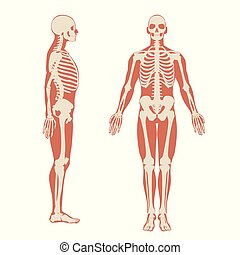 Human skeleton front and side view. Men anatomy illustration on white background with a body silhouette.