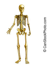 Full human skeleton, front view. Digital illustration, clipping path included.