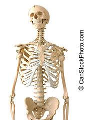 Human skeleton - Human medical skeleton over white