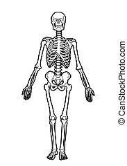 human skeleton - outline human skeleton on white background