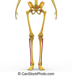 Human Skeleton Legs Anatomy