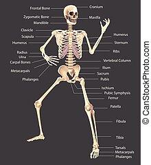 Human Skeleton Medically accurate illustration - Human...
