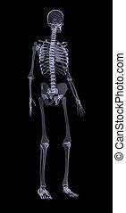 Human skeleton on black, side view