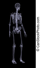 Human skeleton on black, side view