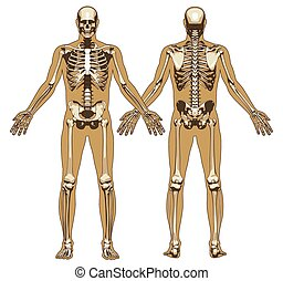 Human skeleton on flat body background. Front and back view...