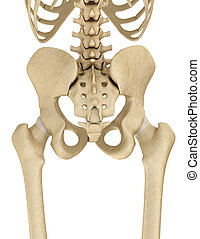 Human skeleton: pelvis and sacrum. Isolated on white....