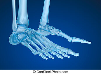 Human skeleton: skeletal foot. Medically accurate 3D illustration