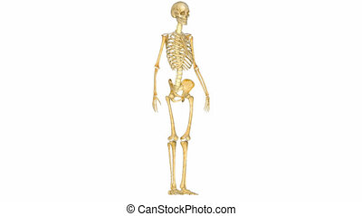 Human Skeleton - The human skeleton is the internal...