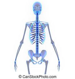 Human Skeleton - The human skeleton is the internal...