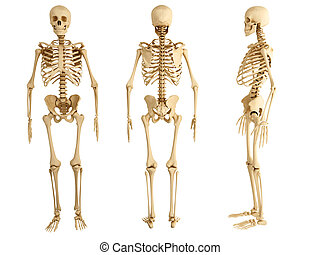 Human skeleton three views