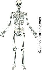 Human Skeleton - An anatomically correct medical educational...