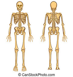 Human Skeleton Vector Illustration