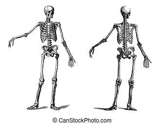 human skeleton vintage nineteenth c - vintage illustration...