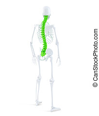 Human skeleton with highlited spine. Isolated. Contains...