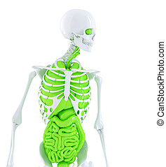 Human skeleton with internal organs. Isolated. Contains clipping path