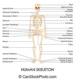 Human Skelton - vector illustration of diagram of human...