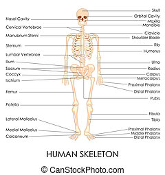 Human Skelton - vector illustration of diagram of human...
