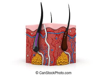human skin anatomy cross section