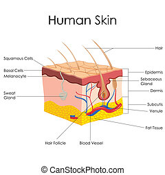 Human Skin Anatomy - vector illustration of diagram of human...