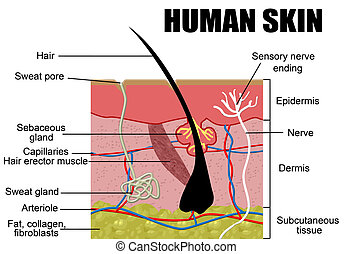 Human Skin Cross-Section, vector illustration - Useful for Education, Hospitals and Clinics