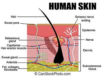 Human Skin Cross-Section, vector illustration - Useful for...