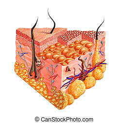Human skin cutaway diagram, with several details. 2D digital illustration with clipping path, on white background.