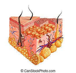 Human skin cutaway diagram, with several details. 2D digital...