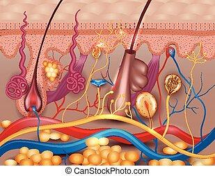 Human skin detailed diagram