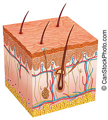 Image you can see the different layers and elements of the skin