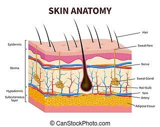 Human skin. Layered epidermis with hair follicle, sweat and...