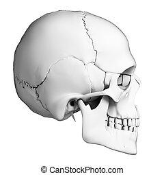 Human skull anatomy - 3d rendered illustration - human skull...