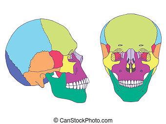 skull anatomy, - human skull anatomy, medical illustration,...