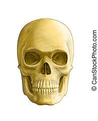 Human skull, front view. Digital illustration, clipping path...