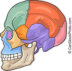 Human Skull Diagram Illustration - Medical Vector...
