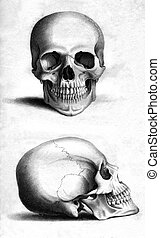 Human skull - Front and side engraving of human skull by...