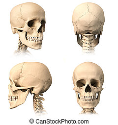 Human skull, four views. - Very detailed and scientifically...